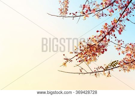Flower Cassia Bakeriana In Colorful Sky,nature Background