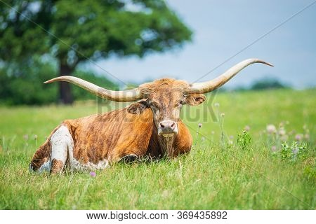 Texas Longhorn Lying Down In The Grass On The Pasture