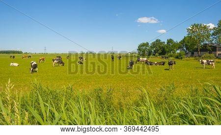 Herd Of Cows In A Green Meadow Along A Highway Below A Blue Sky In Sunlight In Spring