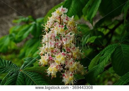 Flowers Of A Tree A Chestnut. Spring Blossoming Chestnut Tree Flowers. Aesculus Hippocastanum Blosso