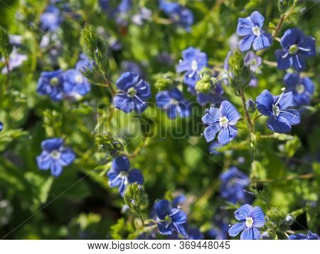 Veronica Chamaedrys, The Germander Speedwell, Bird`s-eye Speedwell, Or Cat`s Eyes Is An Herbaceous P