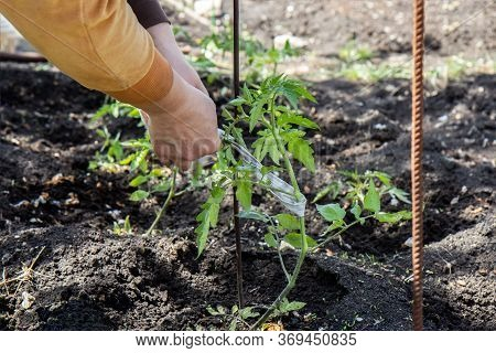 Female Hands Tie Up Tomatoes In The Garden