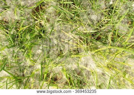 Poplar Fluff On Young Grass. White Fluff