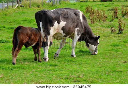 Mother Cow and Calf both feeding