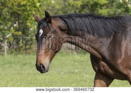 A Head Of Stallion Horses, At A Sunny Day. Dressage Horse Stallions In A Meadow. Breeding Horses