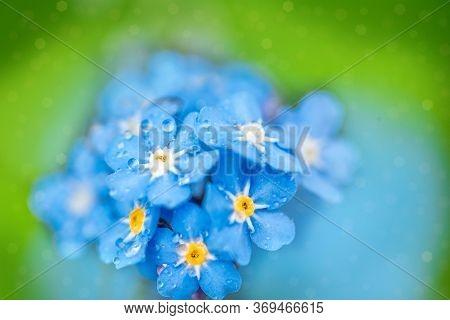Blue Forget Me Not Flowers Closeup.macro. Bokeh Blur Background. Beautiful Summer Card.drops Of Rain