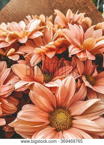 Greeting Card Of Tender Spring Pink Chrysanthemums Close-up. Close-up Of Chrysanthemums For Screensa