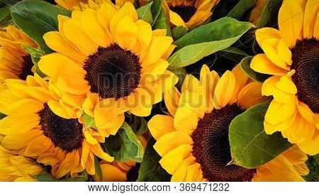 Sunflowers Yellow Flowers Background Sun Flowers Summer