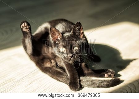 Young Black Short-haired Cat Interrupted During Licking His Tail And Looking In Camera In Sun Light