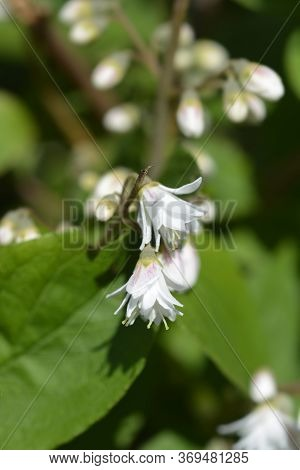 Fuzzy Deutzia Flore Pleno - Latin Name - Deutzia Scabra Flore Pleno