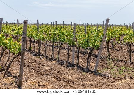 Young Vineyard On A Sunny Spring Day. Young Plantation Of A Well-groomed Vineyard At The Beginning O