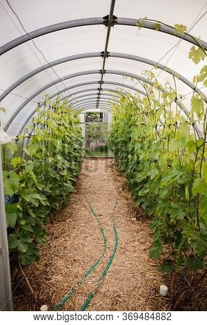 Grape Trees Grow In A Greenhouse. Agricultural Cultivation Of Cultivated Plants In Protected Conditi