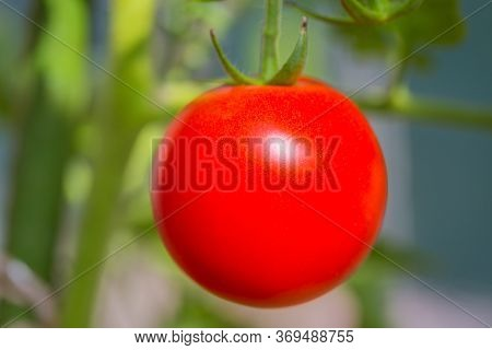 A Ripening Tomato Growing In The Garden.
