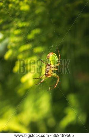 Cucumber Green Spider, Araniella Cucurbitina, Camouflaged On Its Web Between Branches