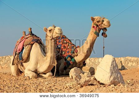 Two camels sitting on the sand in desert poster