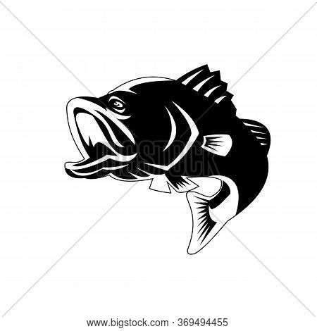 Illustration Of A Largemouth Bass, Black Bass, Barramundi Or Asian Sea Bass (lates Calcarifer) Jumpi