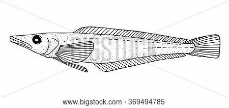 Mackerel Icefish. Black Hand Drawn Realistic Outline Vector Image.