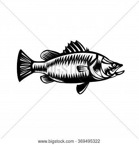 Retro Style Black And White Illustration Of Saltwater Barramundi Or Barramundi, Asian Sea Bass (late