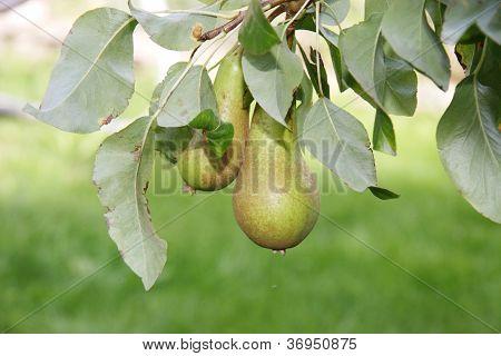 Growing Pears