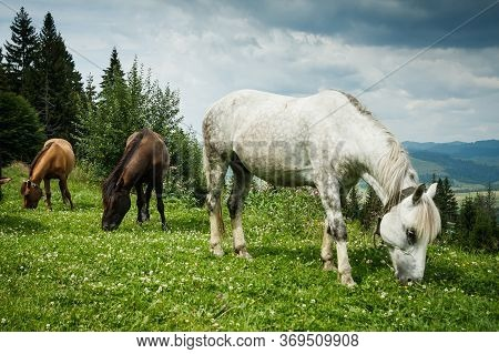 Grazing Horses On A Hillside. Ukrainian Carpathians.