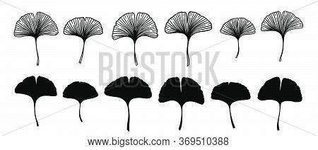 Ginkgo Or Gingko Biloba Leaves Set. Nature Botanical Vector Engraving And Silhouette Illustration, H