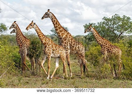 Giraffe Family Walking In A Game Reserve In The Greater Kruger Region In South Africa
