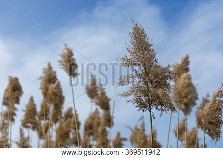 Dry Ordinary Reed And A Bright Blue Sky With Clouds. Reed Grass With Seeds Pumped By The Wind, Natur
