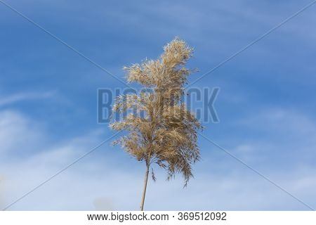 Reed Branch, Spring, Bright Blue Sky With Clouds. Common Reed ( Phragmites Australis )