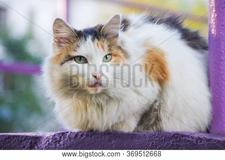 Close-up Of Beautiful Domestic Multicolor Cat, Cat Stuck Out Her Tongue. The Concept Of Nonsense, No