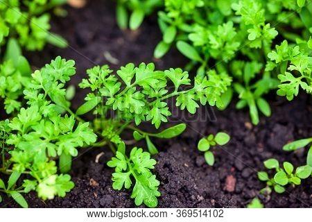 Green Organic Garden Cress Grows On Soil. Close-up