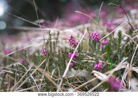 Close Up Of Purple Flowers In Nature. Nature Background Purple Flowers. Bright Green Nature White Fl