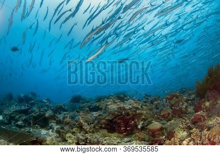 A Large Flock Of Barracudas Swims Over A Coral Reef. Underwater Photography. Malaysia.