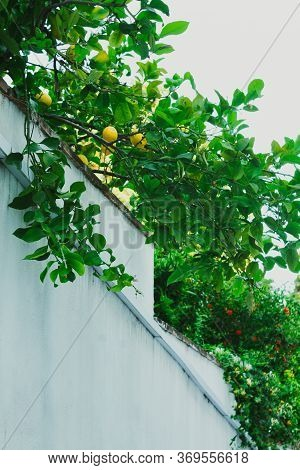 Lemon Tree With Attractive Lemons And Green Leaves On A White Wall. Selective Focus. Background With