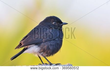 The Pied Bush Chat Is A Small Passerine Bird Found Ranging From West Asia And Central Asia To The In