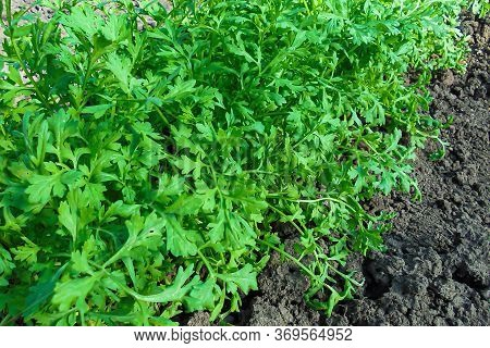Green Leaves Of Watercress Growing In The Ground In A Greenhouse