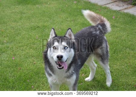 Siberian Husky With One Blue And Other Brown Eye