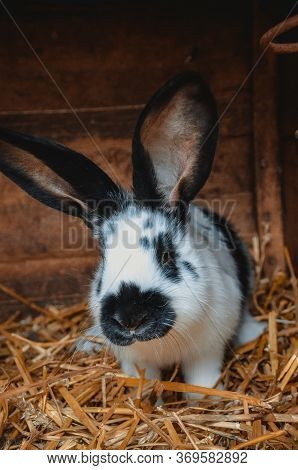 Rabbit On A Farm In A Wooden Cage. Breeding Rabbits. Rabbits In Captivity