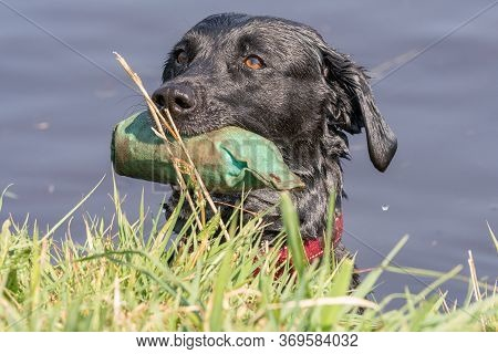 Head Shot Of A Pedigree Black Labrador In The Water With A Training Dummy In Its Mouth