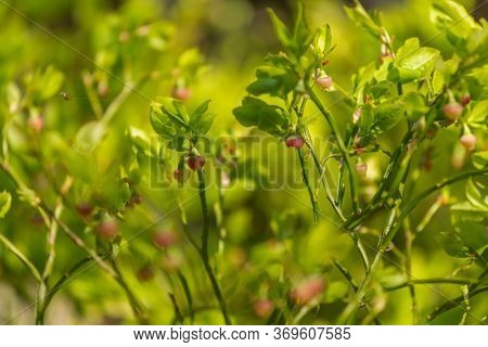 Unripe Reddish Blueberries On Green Bushes In Early Summer In The Rays Of Sunlight. Spider In The Ba