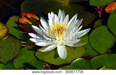 Beautiful White Lily Pad Blooms On Top Of A Cluster Of Lily Pads.  Pads Are Different Shades Of Gree