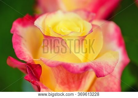 Macro Red Yellow Rose. Flower Red Yellow Colours. Spring Red And Yellow Rose Flower In The Garden.