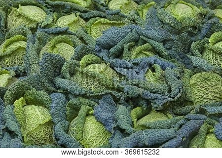 Savoy Cabbage. Beautiful Green Blue Background Print Of Lots Of Leaves And Savoy Cabbage. A Lot Of B