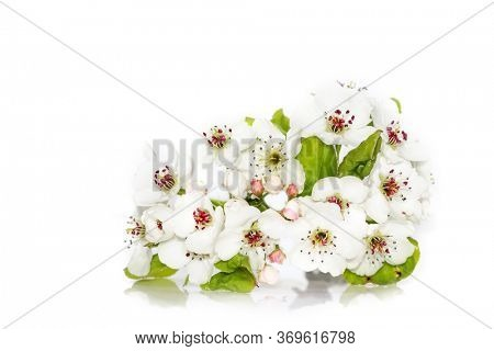 Close up shot of Cherry blossom on white background