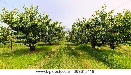 Great Beautiful Amazing, Inviting View Of A Cherry Tree Garden At Niagara Region, Ontario, Canada