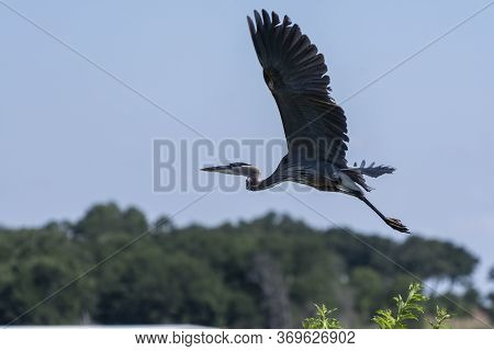 Great Blue Heron With Its Powerful Wings Extend Out Wide As It Takes Flight Over A Tree On A Lake Sh