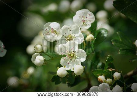 Flowers Of A Single-spurred Hawthorn (crataegus Monogyna) In Spring