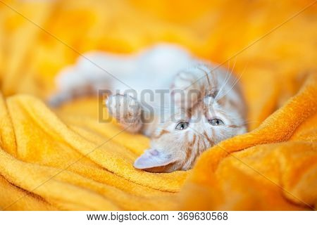 Little red tabby kitten sleeps on sofa. Adorable little pet. Cute child animal. Cat rest at orange plaid.