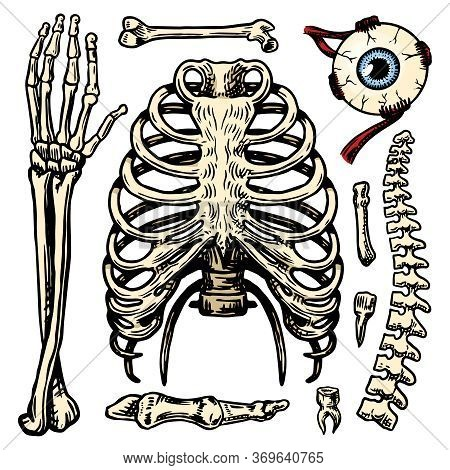 Rib Cage, Arm And Eye And Spine, Anatomy Of Human Bones Set. Body And Thorax And Pelvis, Extremity A