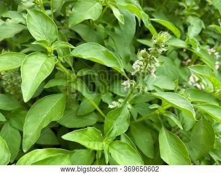 Hairy Basil Leaves And Branches, Thai Herb And Ingredient