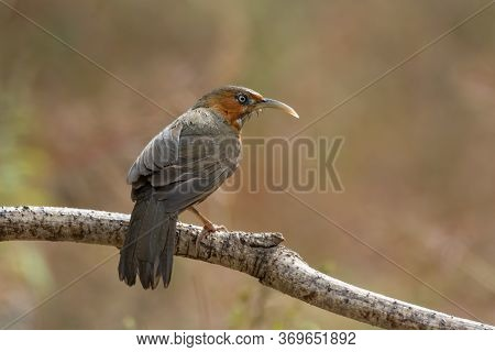 An Oddly Attractive Rusty-cheeked Scimitar Babbler (pomatorhinus Erythrogenys), Perched On A Branch